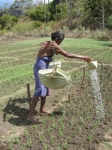 irrigating permaculture gardens in M'bore, Rote &copy indigo foundation